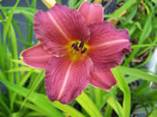 Hemerocallis Little Wine