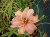 Hemerocallis Luxury Lace