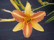 Hemerocallis Tasmania