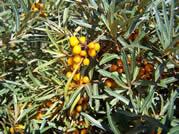 Hippophae berries