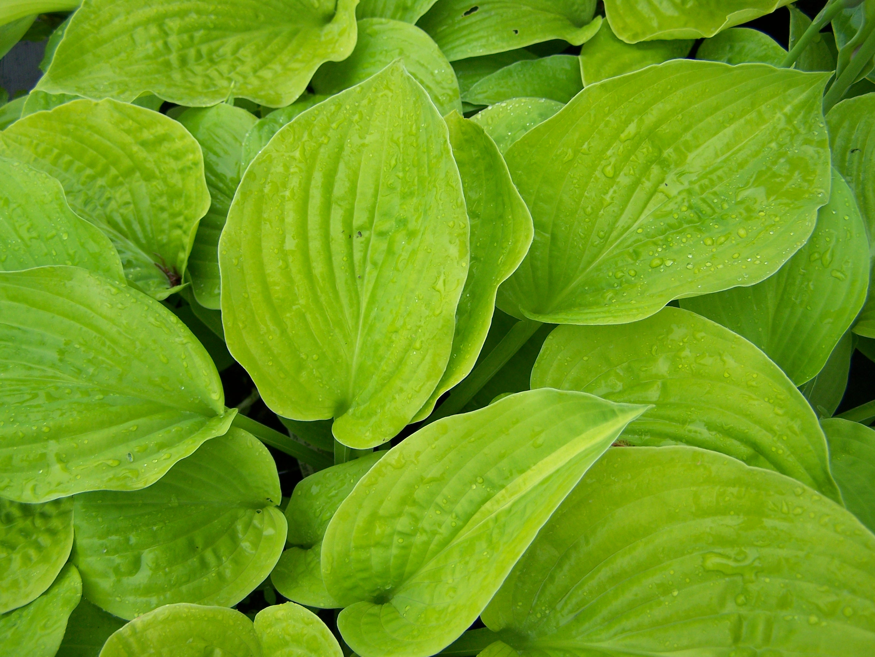 Buy Hosta In Many Varieties By Mail Order
