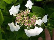 Hydrangea Mariesii Grandiflora