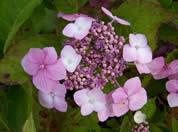 Hydrangea Mariesii Lilacina