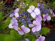 Hydrangea Mariesii