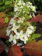 Hydrangea paniculata Snowflake