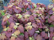 Hydrangea quercifolia autumn colour