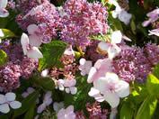 /Hydrangea serrata Bluebird