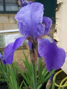 Iris Blue Rhythm