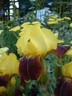 Iris Rajah