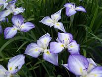 Iris ensata Edens Paintbrush