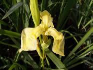 Iris pseudoacorus bastardii