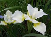 Iris sanguinea Snow Queen