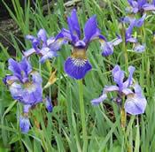 Iris sibirica Caesars Brother