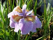 Iris sibirica Memphis memory