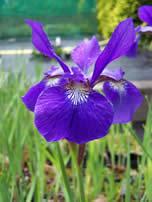 Iris sibirica Tropic Night