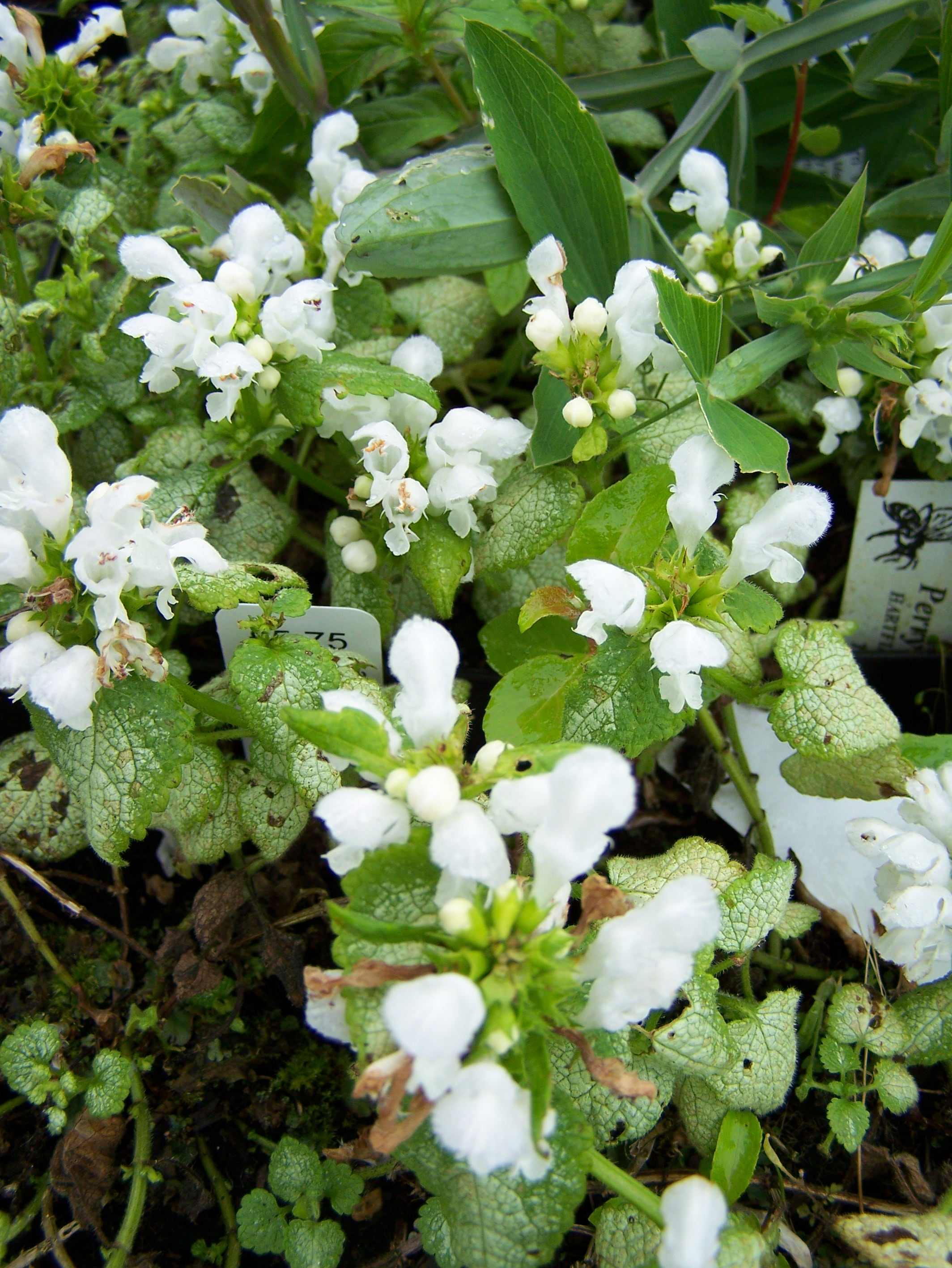 Buy lamium in variety available by mail order lamium maculatum white nancy mightylinksfo