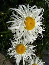 Leucanthemum  superbum Phyllis Smith