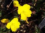 Oenothera Summer Sun