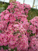 Olearia Coombers Pink