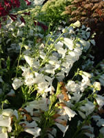 Penstemon White Bedder
