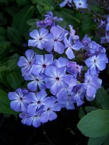 Phlox paniculata Violet Flame