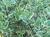 Pittosporum Garnettii