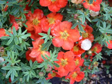 Potentilla fruticosa Red Ace