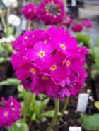 Primula denticulata Rubin