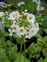 Primula japonica Postford White