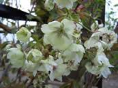 Prunus Ukon