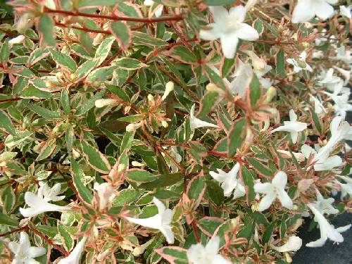 Buy Abelia Chinensis Edward Goucher X Grandiflora Confetti