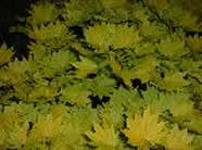 Acer shirawasanum Aureum