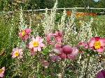 Anemone huphensis Hadspen Abundance