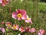 Anemone x hybrida September Charm