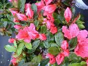 Azalea Vuyks Rosy Red