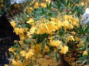 Berberis stenophylla Irwinii