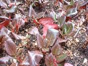 Bergenia purpurescens