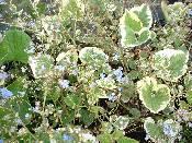 Brunnera macrophylla Dawsons White