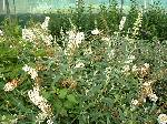 Buddleja davidii White Bouquet