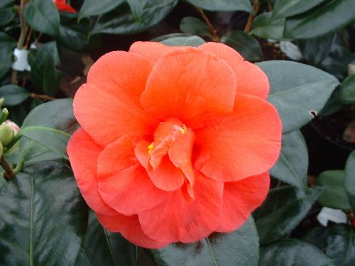 Buy Camellia Varieties By Mail Order