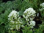 Centranthus ruber Alba