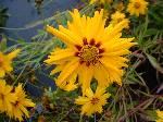 Coreopsis grandiflora Astolat