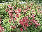 Dicentra Luxuriant