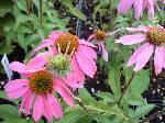 Echinacea purpurea Kim's Knee High