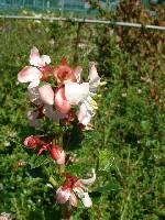 Escallonia Donard Seedling