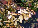 Euonymus fortunei Blondy