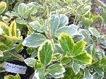 Euonymus japonicus Latifolius Albomarginata