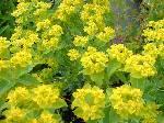 Euphorbia palustris