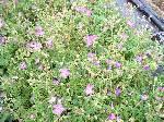 Geranium clarkei Kashmir Purple