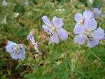 Geranium pratense Mrs Kendall Clarke